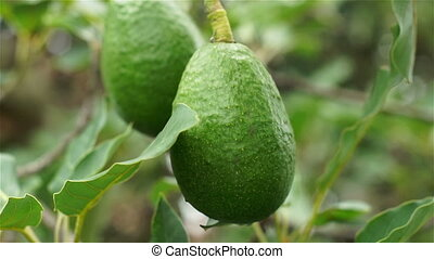 Avocado Fruit in Tree Closeup - Close up handheld shallow...
