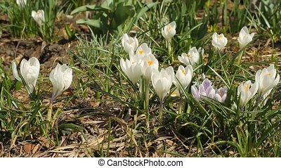 Beautiful white crocuses in springtime