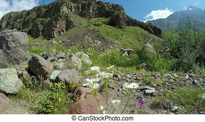 Chamomile in alpine meadow - In foreground daisy flowers...