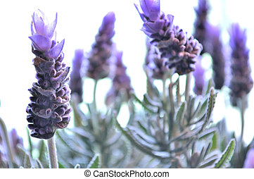 Lavender plant in front of window. - Lavender blooms with...