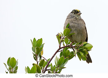 Golden-crowned Sparrow (Zonotrichia atricapilla) perched on...