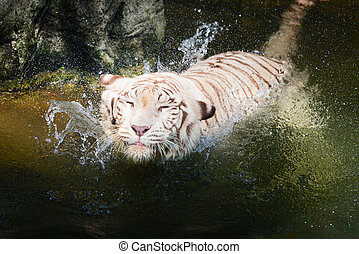 Playful white tiger splashing in the clear water - Beautiful...