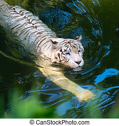 White tiger swimming in clear water - White tiger swimming...