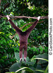 One gibbon from back in the forest hanging from a tree in...