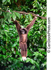 One gibbon in the forest hanging from a tree in the jungle -...