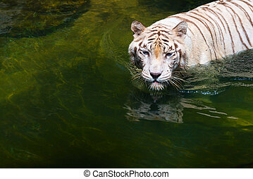 Strong beautiful calm white tiger in water - White strong...