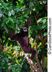 One Gibbon outdoors in the forest hanging from a jungle tree...