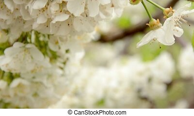 White cherry branch blossom swinging on the spring breeze HD...