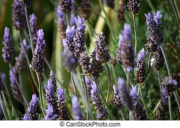 Lavender flowers - Lavender is a flower widely used in...