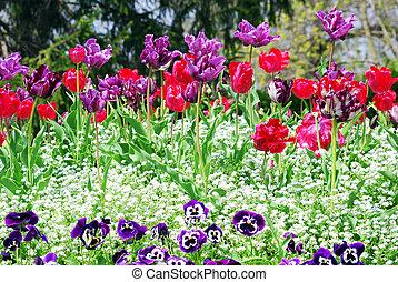 tulipa, flor