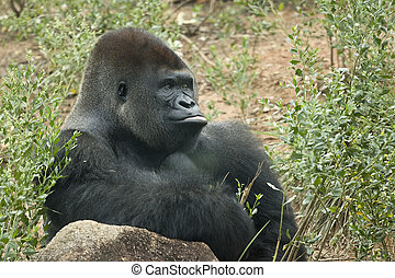 silverback gorilla seated in natural environement