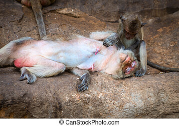 Female monkey being groomed by its cute baby