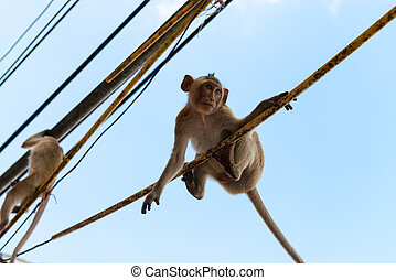 Agile monkeys hanging onto electric cables - Cute agile long...