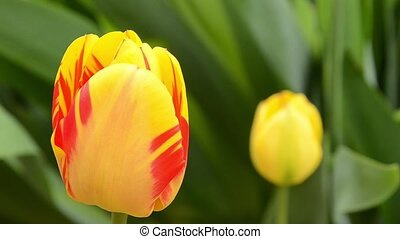 Tulips. Yellow tulips with red stripes in the spring garden with green natural background HD footage