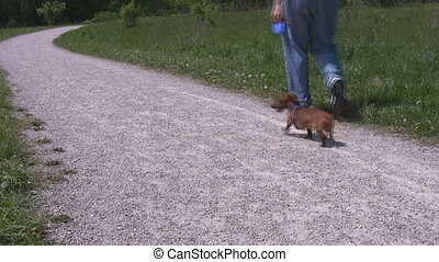 Man walking miniature Dachshund - A man walking a miniature...