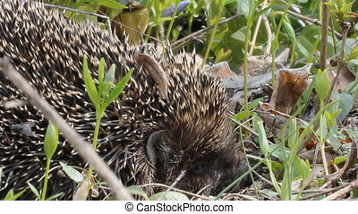 hedgehog hiding in their needles and crawls. - The hedgehog...