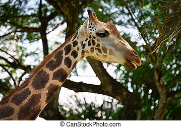 Giraffe Munching on Leaves - Neck and head of a captive...