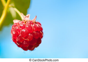 Macro Shot of a Single, Ripe Boysenberry Hanging against the...