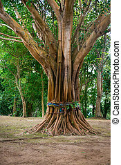 Sacred, Ordained Tree in Southeast Asia - Ordained tree,...
