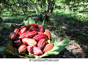 Collected cocoa pods - A view of collected cocoa pods in...