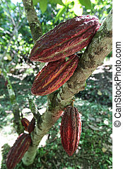 Cocoa fruits on tree - A view of cocoa pods growing on tree...