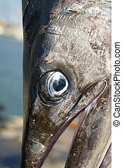 mediterranean spearfish billfish head tetrapturus belone...