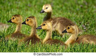 Canada Goose Branta canadensis Goslings - Five Canada Goose...