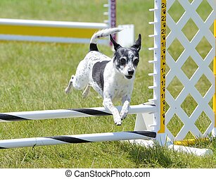 Rat Terrier at Dog Agility Trial