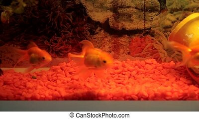 Goldfish in Aquarium close-up HD