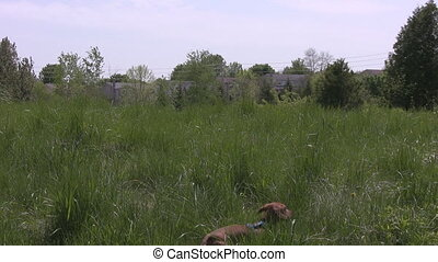 Miniature Dachshund running through - A miniature Dachshund...
