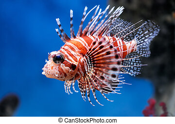 Lionfish Pterois mombasae in a Moscow Zoo aquarium