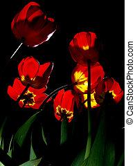 Tulips illuminated in night