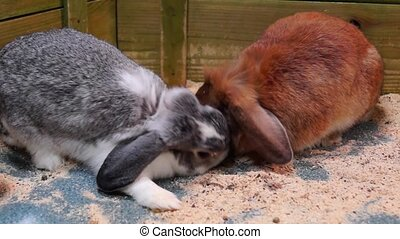 Red and grey rabbits are eating