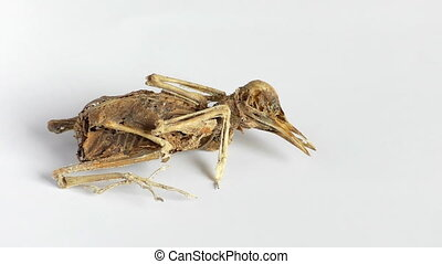 Dead bird skeleton isolated