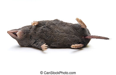 Dead Shrew - Dead Southern Short-tailed Shrew Blarina...