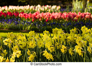 Yellow daffodils and tulips in park in spring