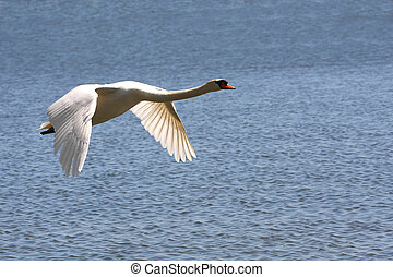 Mute Swan In Flight Over Water In Sun