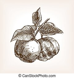 Quince hand drawn sketch style vector - Quince sketch style...