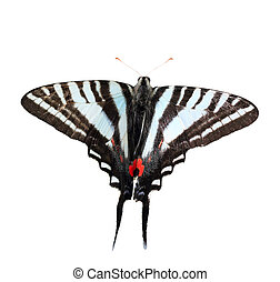Zebra Swallowtail butterfly isolated on white with clipping...