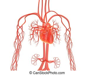 vascular system - 3d rendered illustration of human vascular...