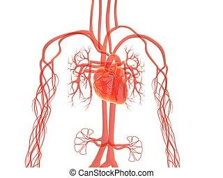 vascular, Sistema