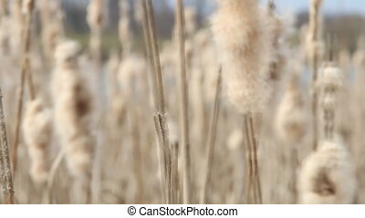 Seedy reed stalks Dry reeds in springtime