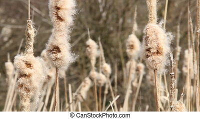 Seedy reed stalks - Seedy reed stalks. Dry reeds in...