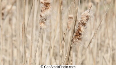 Seedy reed stalks