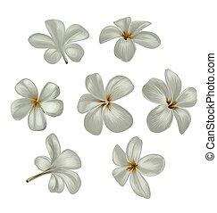 Plumeria flower set - Vector Illustration of Plumeria set