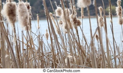 Dry reeds in the wind in early spring.