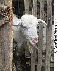 Cute white goat peeping from behind the fence - Cute white...