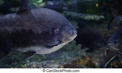 Pacu Fish. Underwater Aquarium