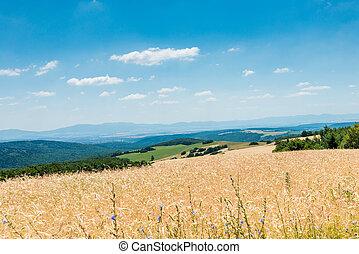 小麥, 黃色, 成熟