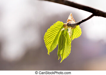 Carpinus Betulus Leaves - European or common hornbeam...